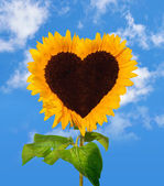 Sunflower head shows a heart-shape — Stock Photo