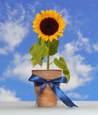 Sunflower in the pot. — Stock Photo