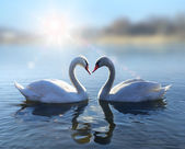 Swans on blue lake water in sunny day — Stock Photo