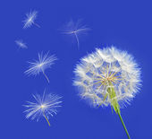 Dandelion with seeds blowing away in the wind across a clear blue — Стоковое фото