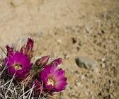 Öken kaktus i blom — Stockfoto