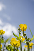 Buttercups on a sunny day — Stock Photo