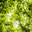 Stock Photo: Leaf canopy