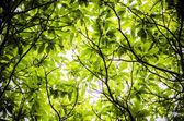 Leaf canopy — Stock Photo
