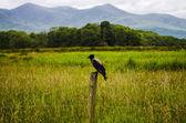 Blackbird waiting — Stock Photo