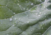 Raindrops on a cabbage leaf — Stock Photo