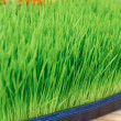 Wheat Grass For Sale — Stock Photo #29919077