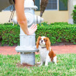 Cavalier King Charles Spaniel Bring Potty Trained — Stock Photo