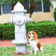 Stock Photo: Cavalier King Charles Spaniel Bring Potty Trained