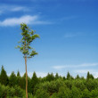Tall tree — Stock Photo