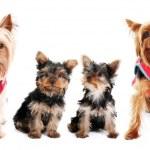 Yorkshire Terrier family — Stock Photo #19393005