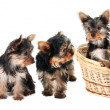 Yorkshire Terrier puppies in a row - Stock Photo