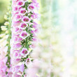 Spring summer digitalis or foxglove flowers on bokeh background — Stock Photo
