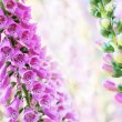 Spring summer digitalis or foxglove flowers on bokeh background - Stock Photo
