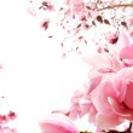 Spring magnolia tree in bloom — Stock Photo #19398719