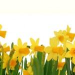 Spring daffodils border — Stock Photo #19398957