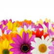 Cheerful daisy border — Stock Photo #19399589