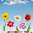 Fun daisies in pots — Stock Photo