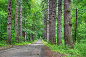 Road through old larch forest — Stock Photo