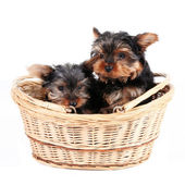 Yorkshire Terrier puppies in a basket — Stock Photo