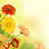Colorful mums flowers on warm bokeh background — Stock Photo