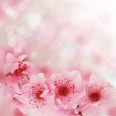 Soft spring cherry flowers background — Stock Photo