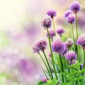 Flores de cebolinho — Foto Stock