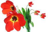 Red spring tulips in vase — Stock Photo
