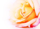 Delicate rose — Stock Photo