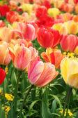 Spring tulips close-up — Stock Photo
