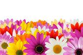 Cheerful daisy border — Stock Photo
