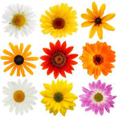 Daisy collection — Stock Photo