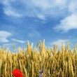 Wheat field with flowers - Stock Photo