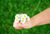 Child hand with daisies — Stock Photo