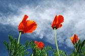 Windblown poppies — Stock Photo