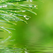 Dew drops on pine needles — Stock Photo