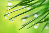 Water drops on pine needles — Foto Stock