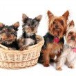 Yorkshire Terrier family - Stock Photo