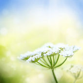 White wild carrot flower on spring background — Stock Photo