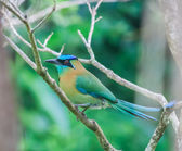 Motmot — Stock Photo