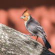 Red crested cardinal — Stock Photo