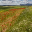 Poppies in Andalusia - Stockfoto