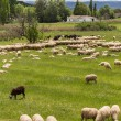 Herd of Andalusian sheep — Stock Photo