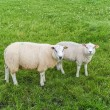 White sheep in a meadow — Stock Photo