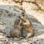 Two prairie dogs kissing — Stock Photo