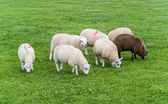 Sheep with paint markings — Stock Photo
