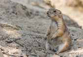 Prairie dog sitting in the sand — Стоковое фото