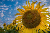 Sunflowers field — Foto Stock