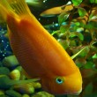 Gold fish — Foto Stock