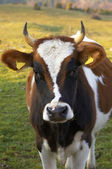 Cow eyes — Stock Photo